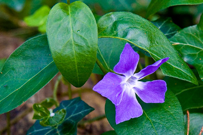 Purple flower with green leaf background